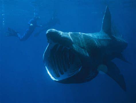 Filter Feeder Shark basking shark
