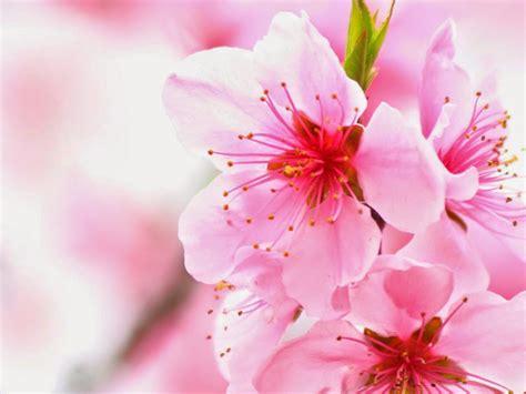 kumpulan gambar bunga sakura kumpulan gambar bunga sakura