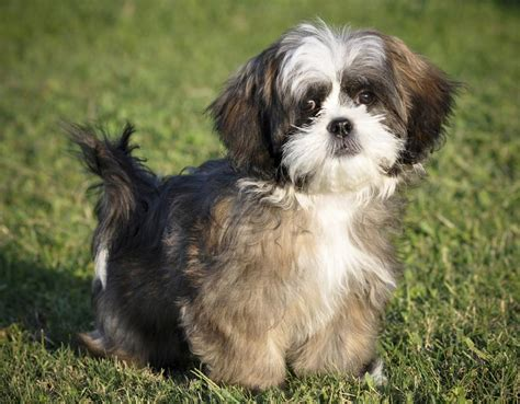 do shih tzu dogs shed hair a list of small dogs that don t shed but true
