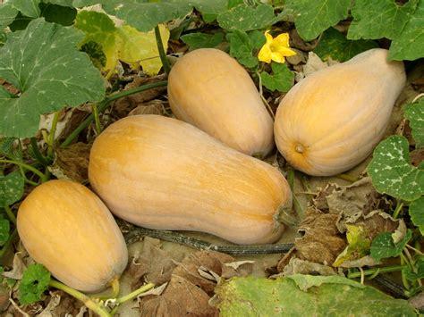 zucca coltivazione in vaso come coltivare la zucca non sprecare