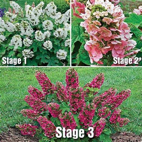 ruby slippers hydrangea deer resistant ruby slippers oakleaf hydrangea zones 5 6 7 8