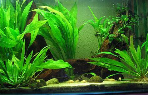 Tropical Plants For Aquarium - aquarium plants for beginners aquarium plants for beginners youtube 2017 fish tank maintenance