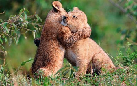 imagenes animales abrazados imagenes hilandy fondo de pantalla animales leones