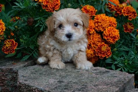 yorkie puppies for sale mn craigslist beautiful yorkie poo puppies craigspets