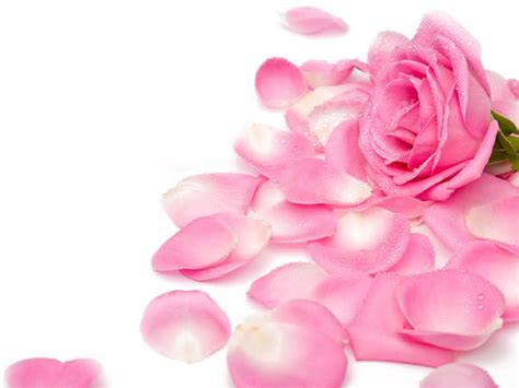wallpapers pink rose wallpapers