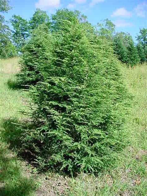 hemlock tree pictures pictures of hemlock trees