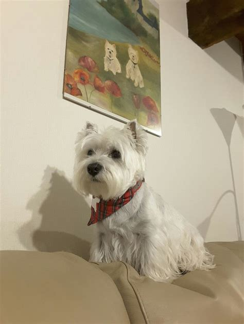 are havanese hypoallergenic 241 best images about wags tails on yorkie hypoallergenic breed and