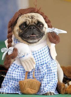 pictures of pugs dressed up 1000 images about dressed pug on pug a pug and the pug