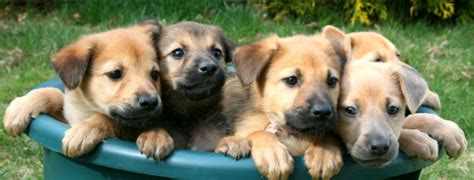 a bunch of puppies chinook breed guide learn about the chinook