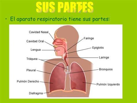 imagenes del sistema respiratorio ingles el aparato respiratorio