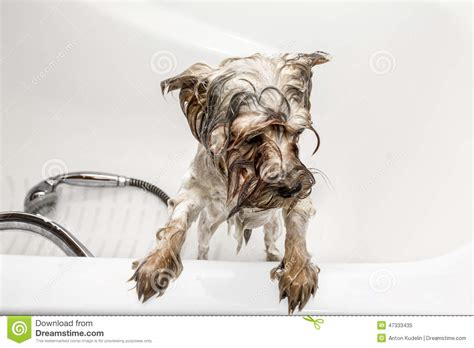 how to bathe a yorkie puppy terrier bathed in a bathtub stock photo image 47333435