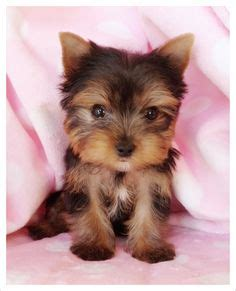 famous people who own yorkie poms papillon pomeranian mix puppies for sale zoe fans blog