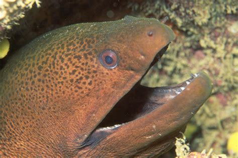 moray eel photos of moray eels family muranidae