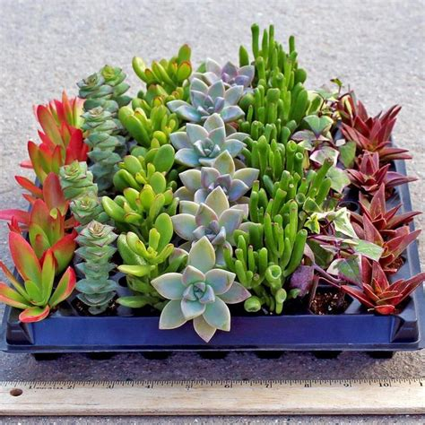 low light succulents crassula wholesale 49 plug tray 7 varieties gardens