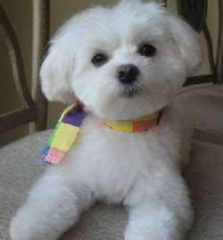 old fashioned dog grooming pictures for sale maltese forever akc maltese puppies in north carolina