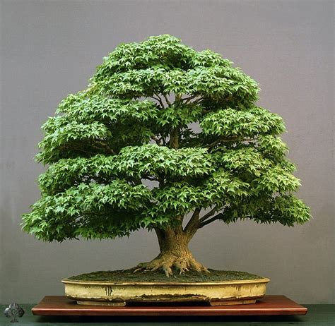 bonzi tree the basics of bonsai learn how to grow bonsai for