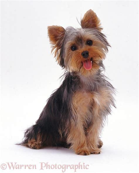 Dog: Yorkie pup sitting photo WP08110