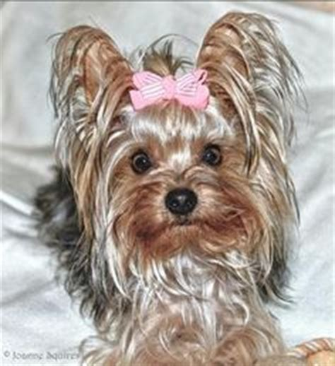 yorkie hair color 1000 ideas about hair dye on creative grooming grooming and pet