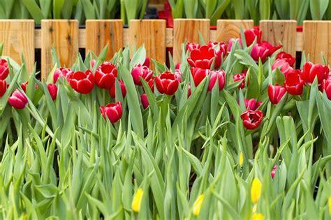 fiori con bulbo fiori a bulbo bulbi piante bulbose