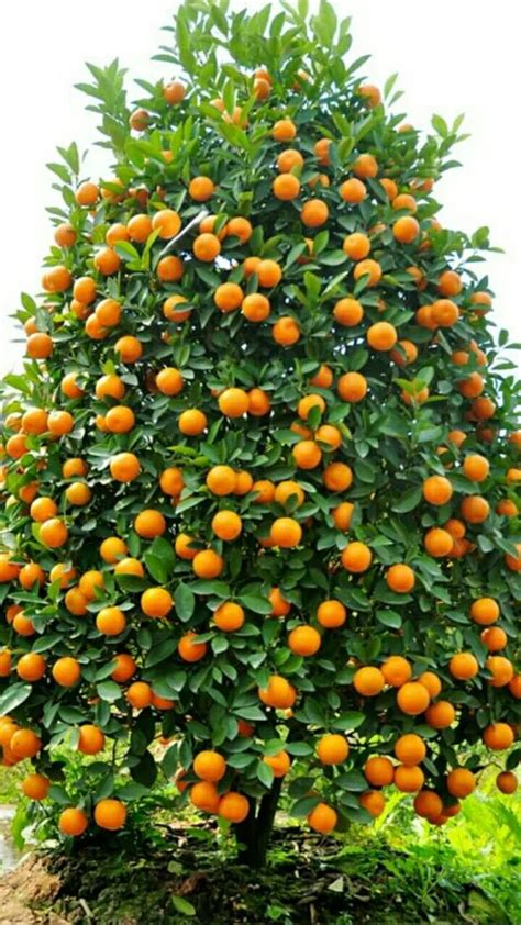tree with small orange fruit best 25 orange trees ideas on orange grove