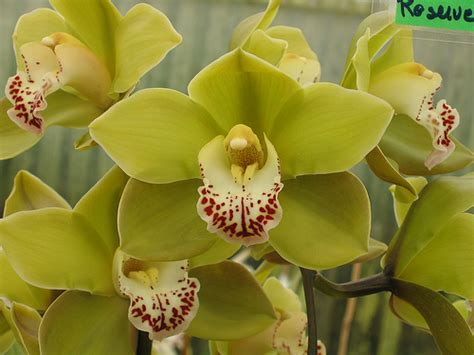 luscious living house plants caring for your cymbidium