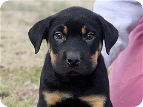 yellow lab rottweiler mix pet not found