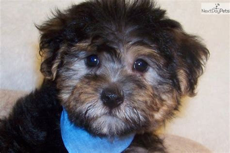 white yorkie poo yorkie poo puppies information breeds picture