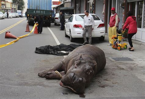 7 killed 2 injured in china paper mill ny daily news hippopotamus which was injured in three days dies in taiwan