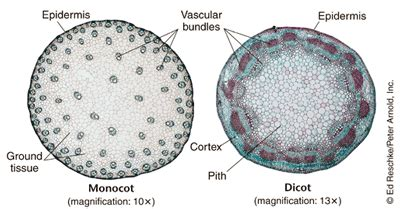 pin monocot vs dicot leaves cross section on