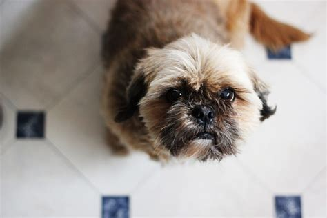 is a shih tzu hypoallergenic are shih tzus hypoallergenic canna pet 174