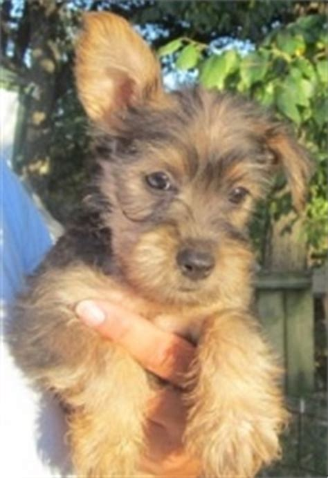 yorkie kansas city 11 best snorkie anyone images on doggies puppies and dogs