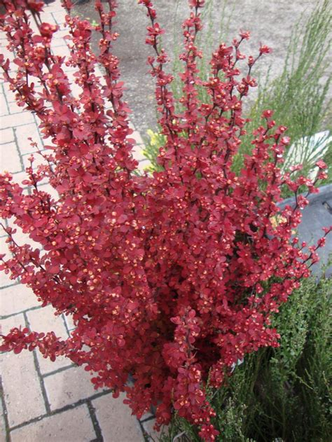 photo   entire plant  japanese barberry berberis