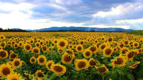 sunflower fields highway 395 side of the road washington 3266 x 1835