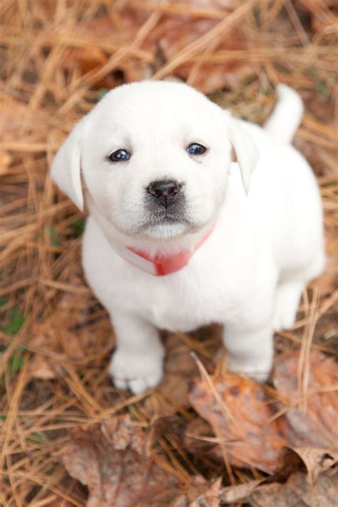 white lab puppies 25 best ideas about white puppies on