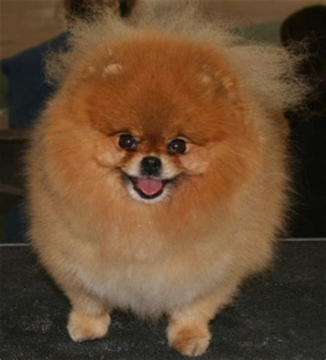 how to shave a pomeranian like boo boo quora