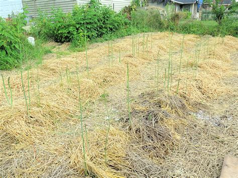 asparagus bed cleanup plus q a our happy acres