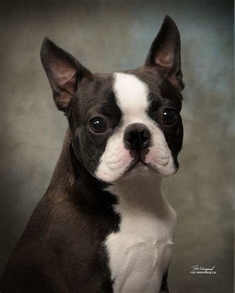 boston terrier puppies for sale in alabama circle j s boston terriers breeder puppy for sale puppies show quality