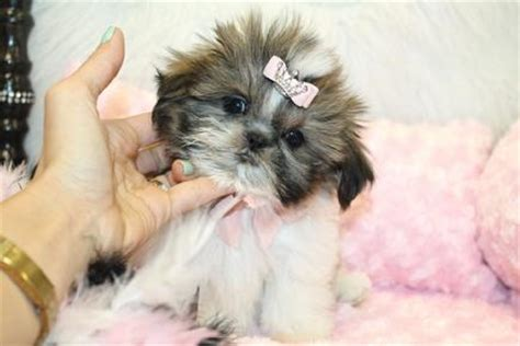 shih tzu puppies for sale in oregon shih tzu puppies oregon assistedlivingcares
