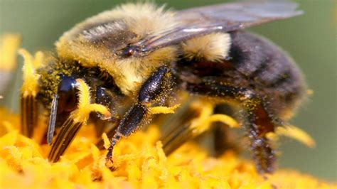 Bumble Bee HD Wallpapers
