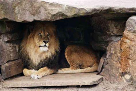 twenty seven and ferocious lions - Lions Home