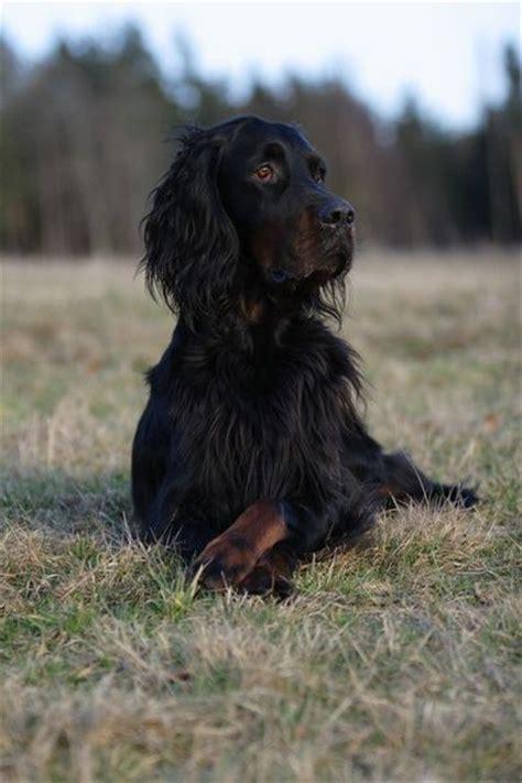 irish setter gun dogs for sale 1205 best irish setter love images on pinterest english