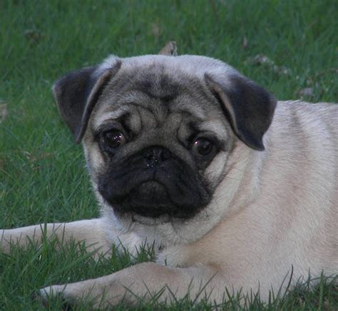 pugs for sale vancouver ckc registered pug fawn 5 months for sale adoption from chilliwack