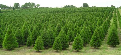 which county produces one fourth of the christmas trees
