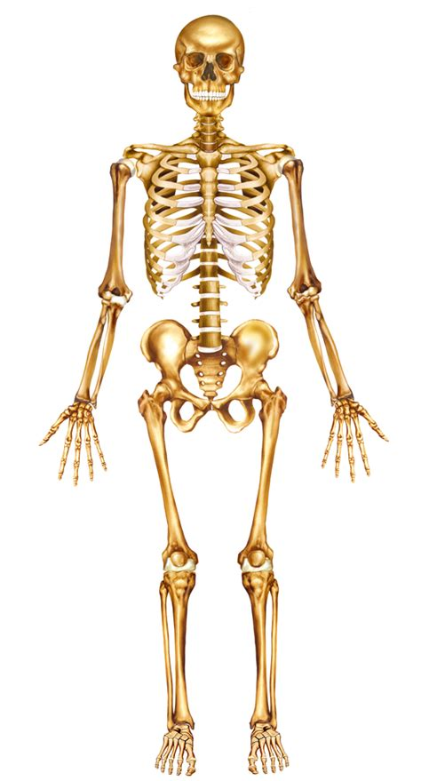 anatomical sections of the body orientation in human anatomy