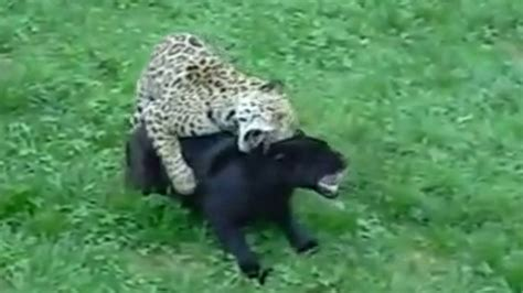 difference between jaguar leopard and panther jaguar vs cheetah leopard panther best leopard 2017