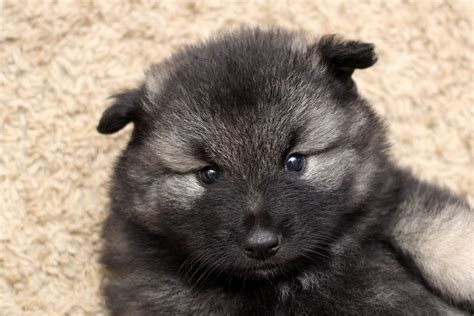 keeshond puppies for sale near me keeshond puppies keeshond breeders keeshonds for sale keeshonds photo breeds picture