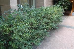 Flowering Shrubs Zone - sweet box sarcococca confusa in raleigh chapel hill durham apex holly springs rtp north