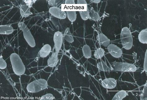 image gallery eubacteria marine