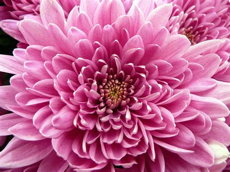 november flower november birth flower chrysanthemum proflowers blog