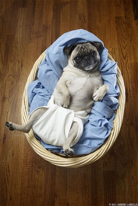 diapers for pugs pug wearing baby dogs i like